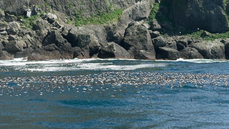 Rafts of Common Murres - Seward, Alaska, USA