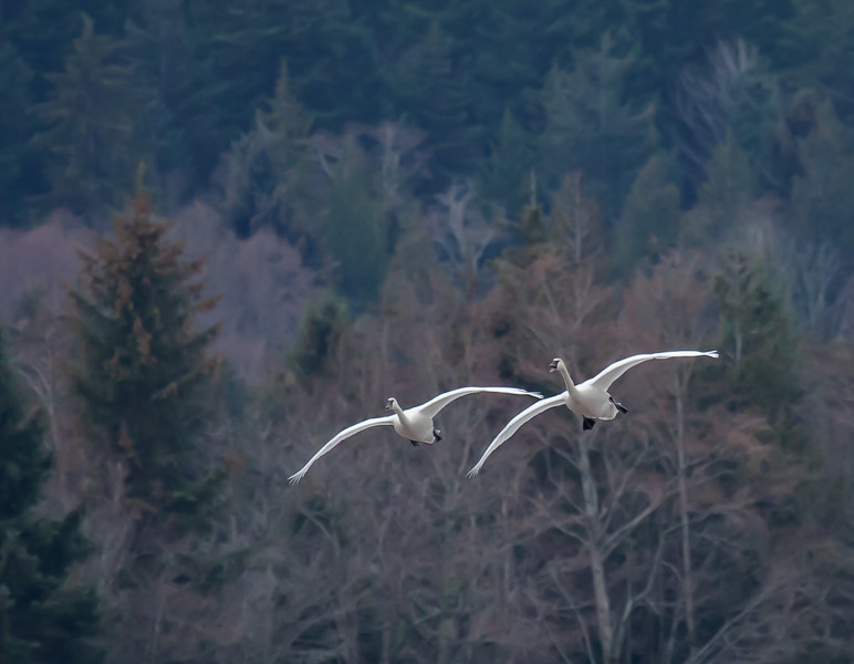 Photography, attuned to the currents of nature. Trumpeter swans, Comox Valley, Vancouver Island.