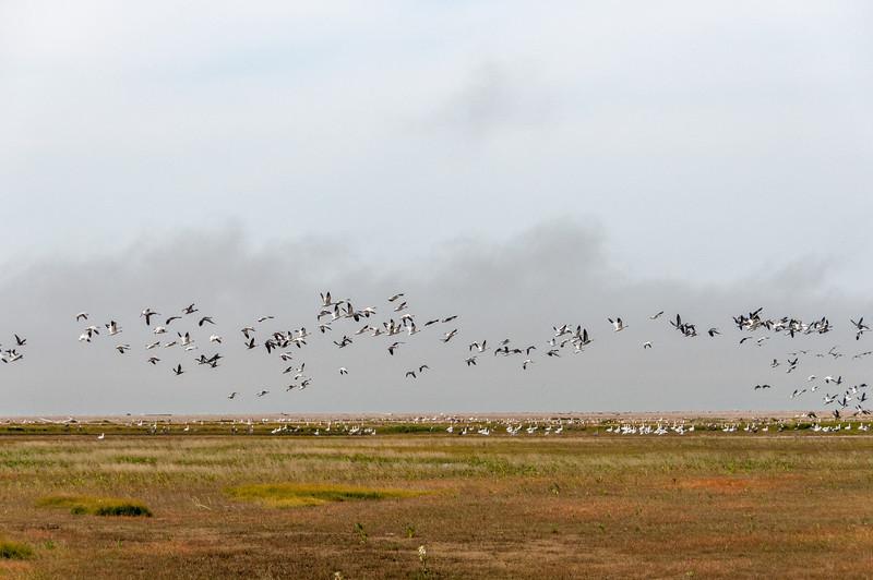 Flying tundra swans near Hudson Bay in Canada