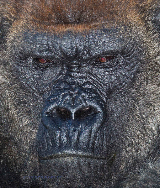 Gorilla Up Close.jpg