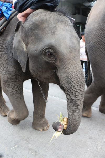 2014-11-14 Surin Elephant Welcome Feast 267.JPG