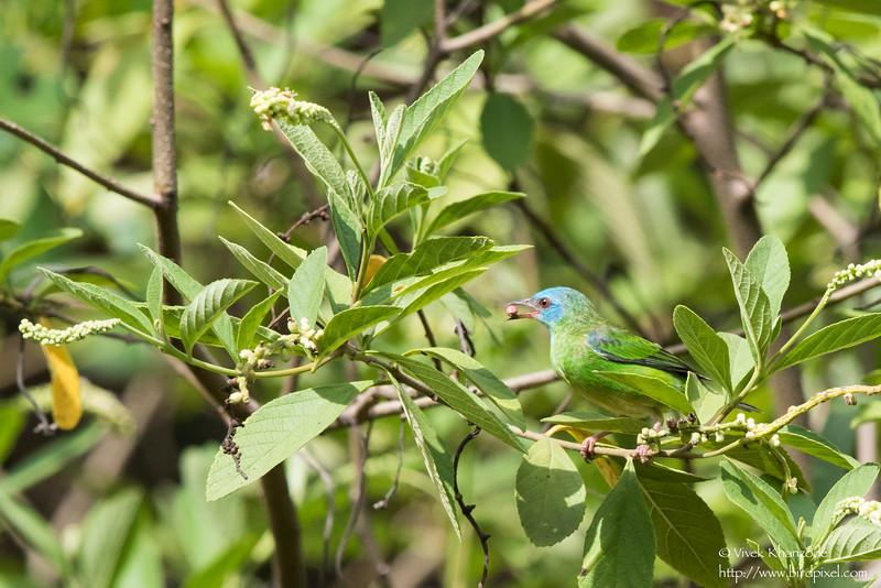 Blue Dacnis - Female - Nariva Swamp, Trinidad