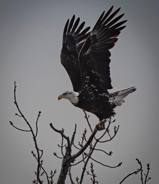 MK (banded bald eagle)