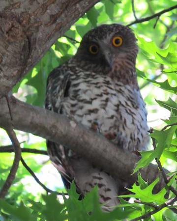 1 Dec 2014 Powerful Owl