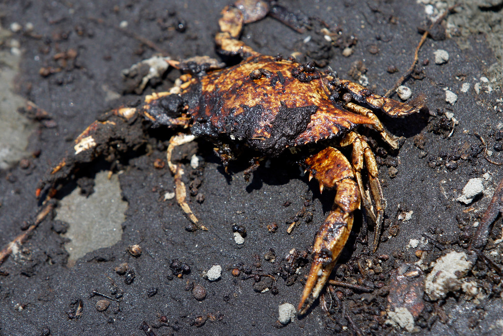 . An oil covered crab is seen along with oil washed ashore from the Deepwater Horizon spill,  Wednesday, June 9, 2010, in Belle Terre, La. (AP Photo/Eric Gay)