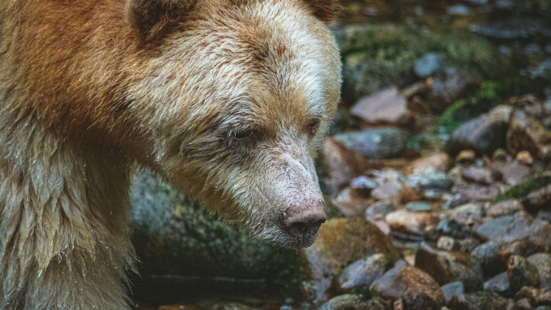 White Bear at Riordan Creek September 2019-3.jpg
