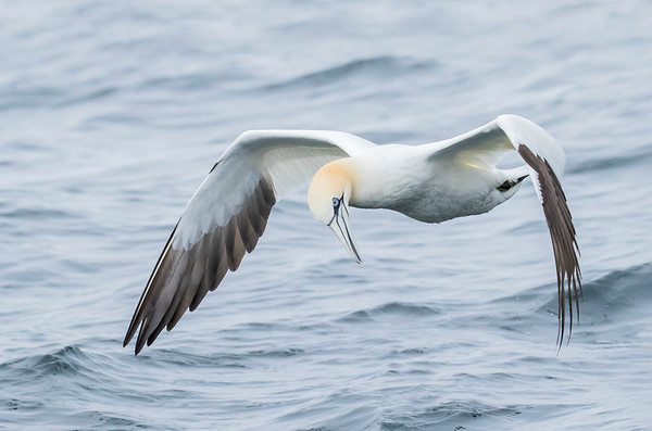 Northern Gannets-June 2016