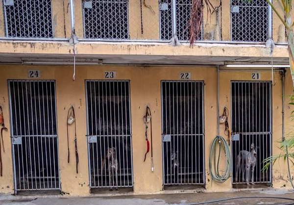 Greyhounds in their cells at the  infamous Canidrome, in Macau, China.  The Canidrome closed in July 2018 and over 600 dogs are being shipped to rescues in Europe and America. The dogs are crated in Macau, transported to the airport in Hong Kong, flown to Frankfurt, Germany, transferred to another plane and then flown to Miami International Airport, where they pass through customs and eventually get picked up by Sonia Stratemann of Elite Greyhound Adoptions to start their new lives. Image captured on  Wednesday January 23, 2019 at Elite Greyhound Adoptions in Loxahatchee, Florida. [Photo provided by Save the Macau Greyhounds]