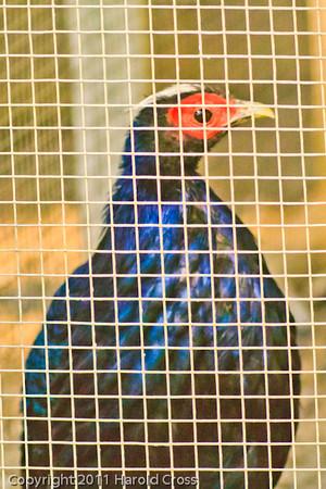 Edward's Pheasant