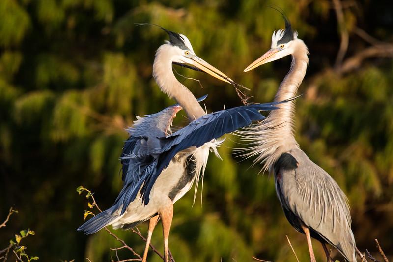 Great Blue Herons Nesting Ritual FL 2020-1.jpg