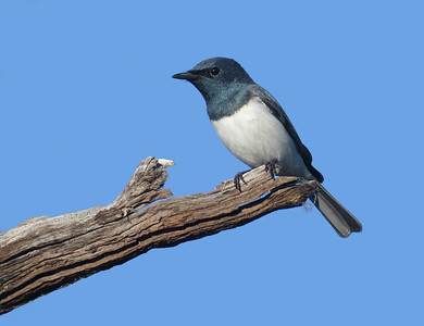 FLYCATCHERS  ROBINS WAGTAILS