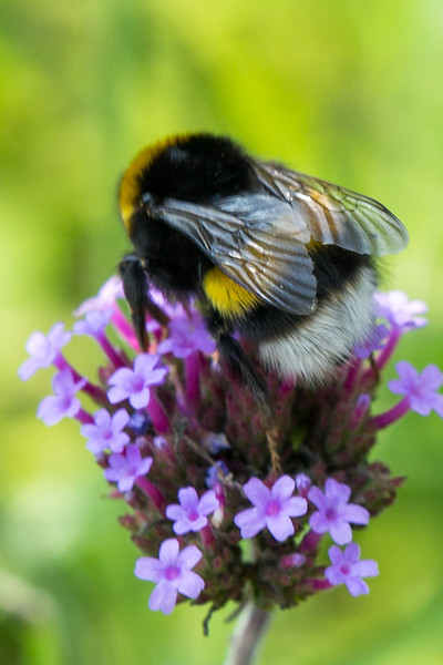 140727_Bloemen, vlinders en bijen-0514.jpg