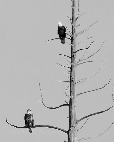 Eagles Franklin Parker Preserve 2.jpg