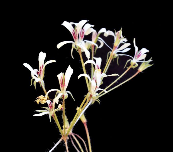 Pelargonium punctatum 2020-05-20.jpg