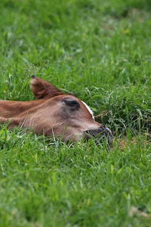 Misc Foals in Pasture