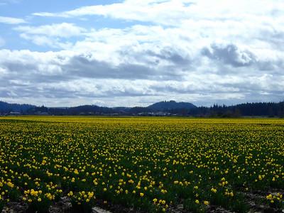 Mount Vernon Flower Fields