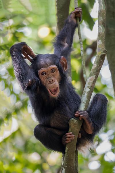 African_Apes_0218_PSokol-662-Edit-2.jpg