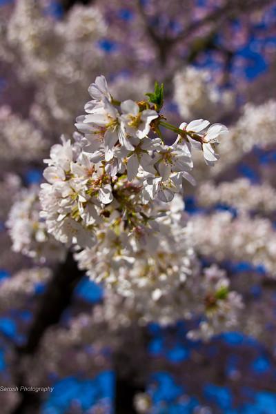 CherryBlossomSP-29.jpg