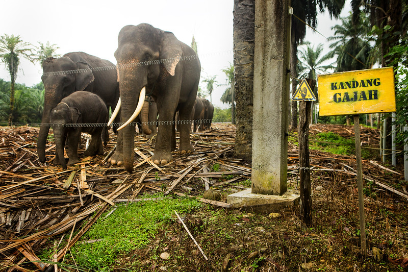 A family of Sumatran elephants stand behind an electric fence at a rehabilitation center near Tangkahan