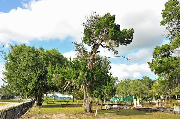 Oak Grove Cemetery Endangered Cedar Tree 09-19-19
