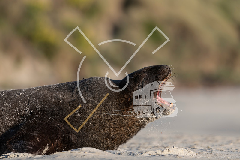 Portrait of female New Zealand Sea Lion yawning while laying at the sandy beach of Sandfly Bay