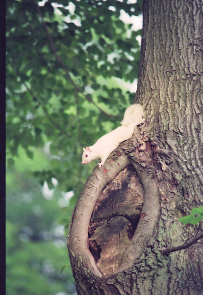 An albino squirrel.