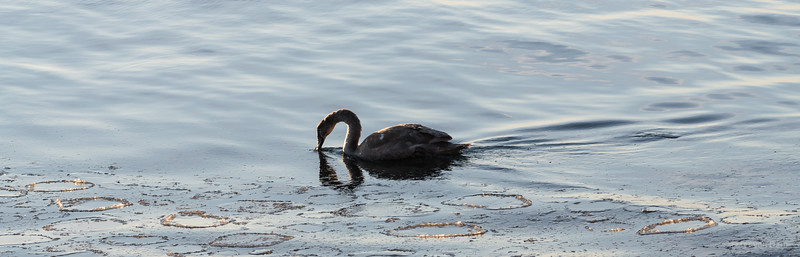 Young swan and Sea Ice