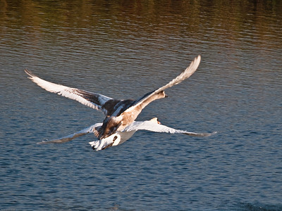 Mute Swan (Cygnus Alor)