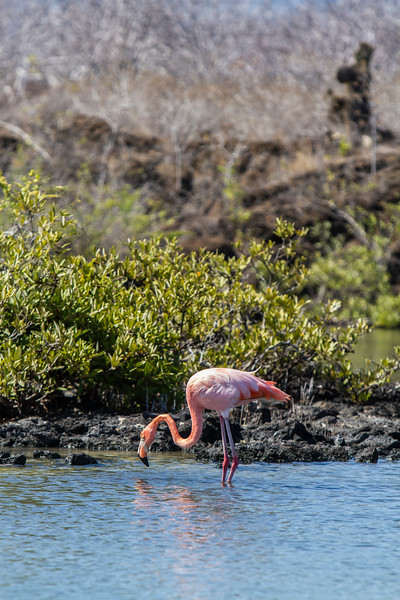 Flamingo on Floreana.jpg