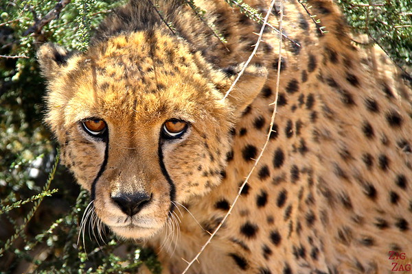 Portrait of a Cheetah, Namib Carnivore Conservation centre