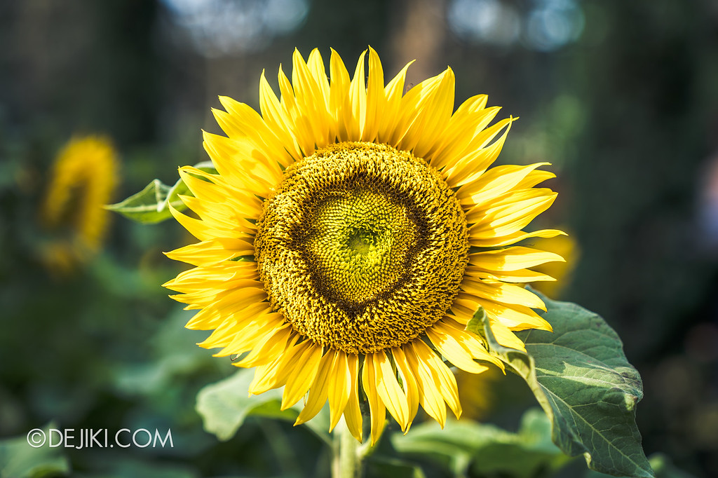 Gardens by the Bay – Sunflower Surprise / Sunflower Major