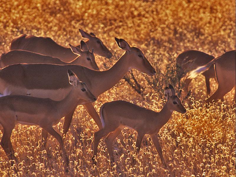 impala  (Aepyceros melampus)  - אימפלה
