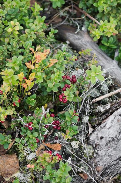 Lingonberries at Pilpassuo
