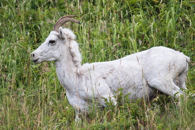 Dall Sheep Alaska 2019-1.jpg