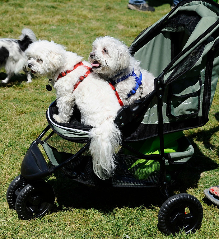 . April 21,2013. Calabasas. Many dogs enjoy afternoon during the Canine Classic Dog Walk & Festival at Juan Bautista de Anza Park.  Photo by Gene Blevins/LA Daily News