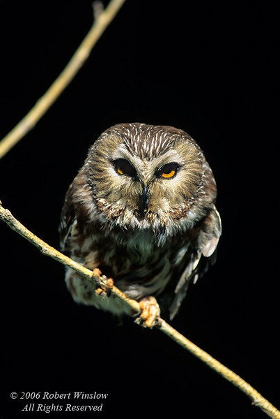 Northern Saw-whet Owl, Aegolius acadicus, controlled conditions