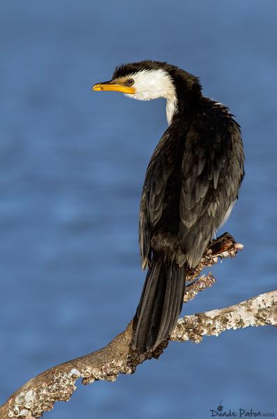 littlepiedcormorantfeather2.jpg