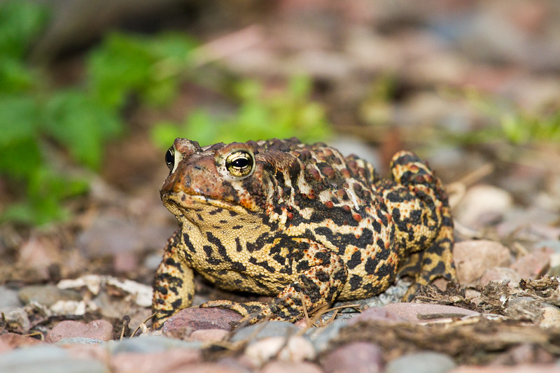toad American Toad Bufo americanus garden at Skogstjarna Carlton County MN IMG_3481.jpg