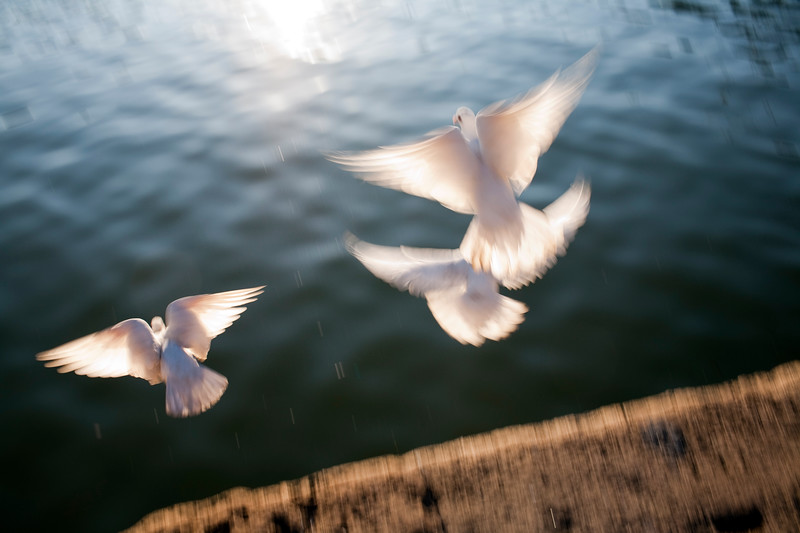"White doves by the Guadalquivir river, Muelle de la Sal (""salt dock""), Seville, Andalusia, Spain"