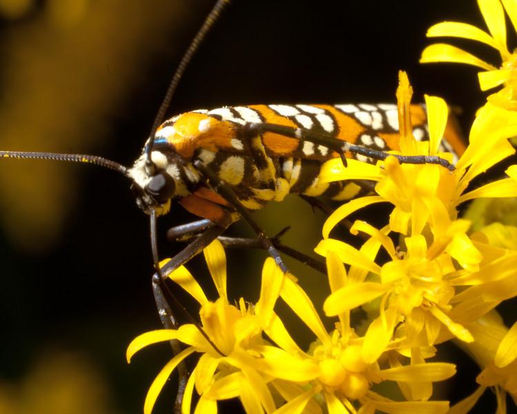 Atteva aurea - Ailanthus Webworm Moth 9893