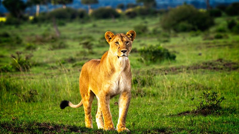 Lioness Stance