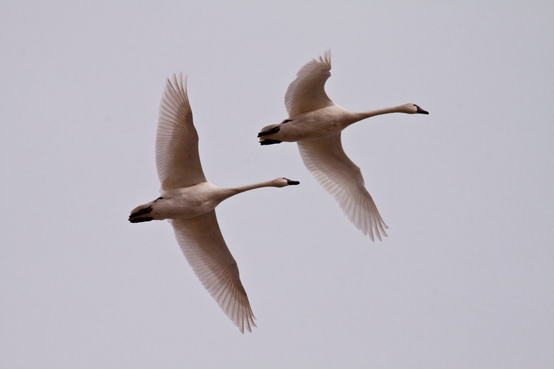 2011 swan migration aylmer (39 of 51).jpg