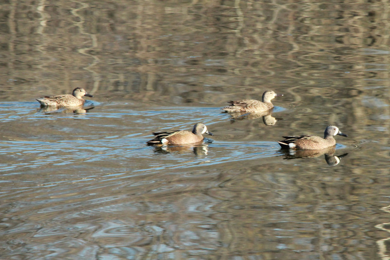 Blue-winged Teal @ Simpson Lake CP [water treatment pond]