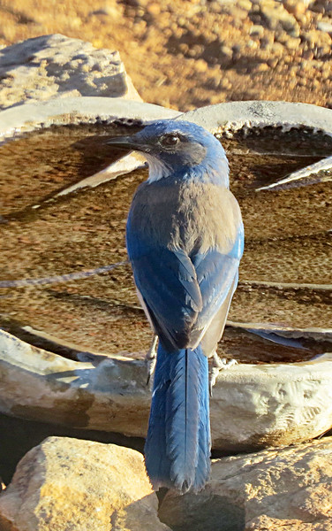 Scrub Jay on the birdbath.jpg
