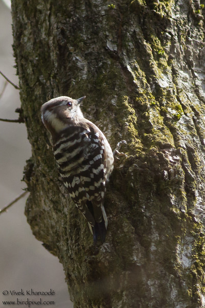 Pygmy Woodpecker