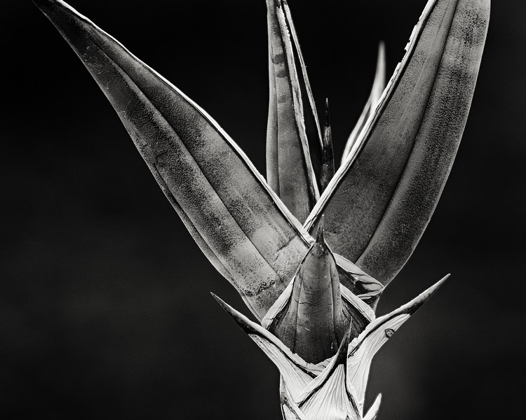 sansevieria pinquicula