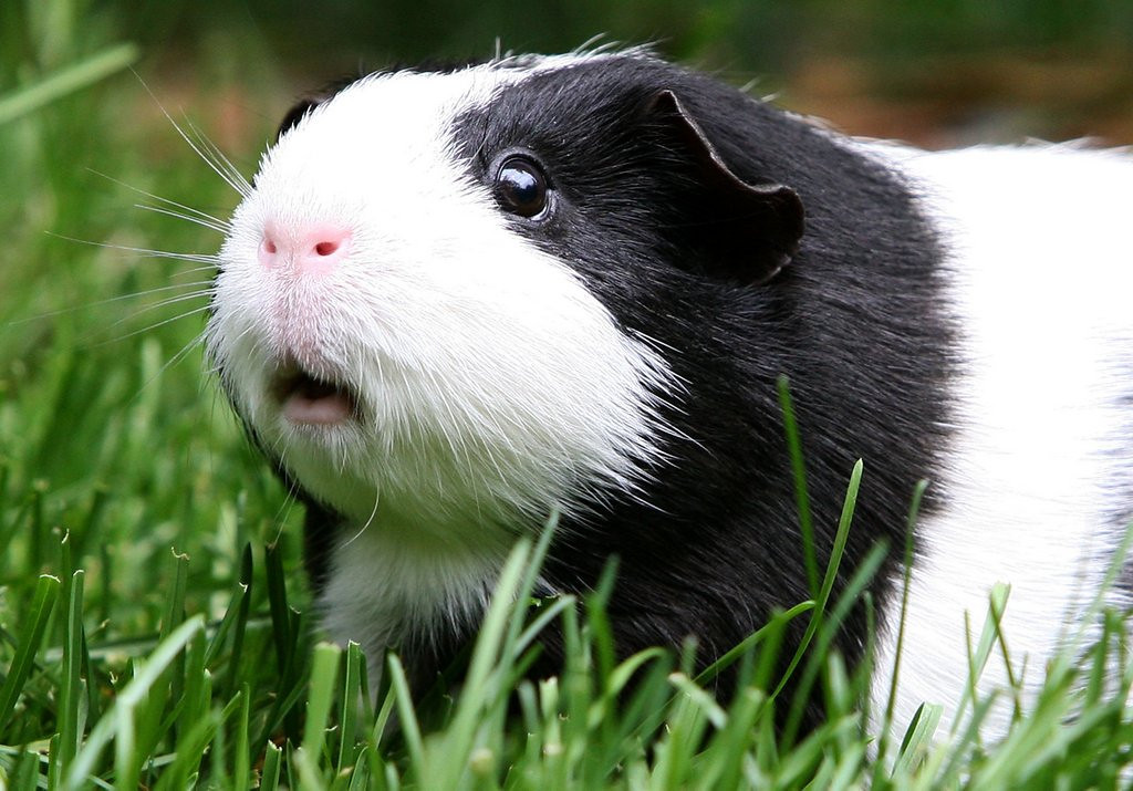 . <p>29. GUINEA PIGS <p>Mostly subsist on grass, like their cousin, the Snoop Dogg.   (Justin Sullivan/Getty Images)