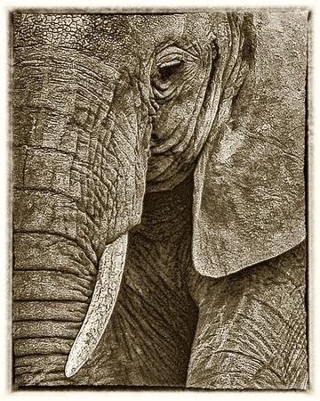 sepia elephants