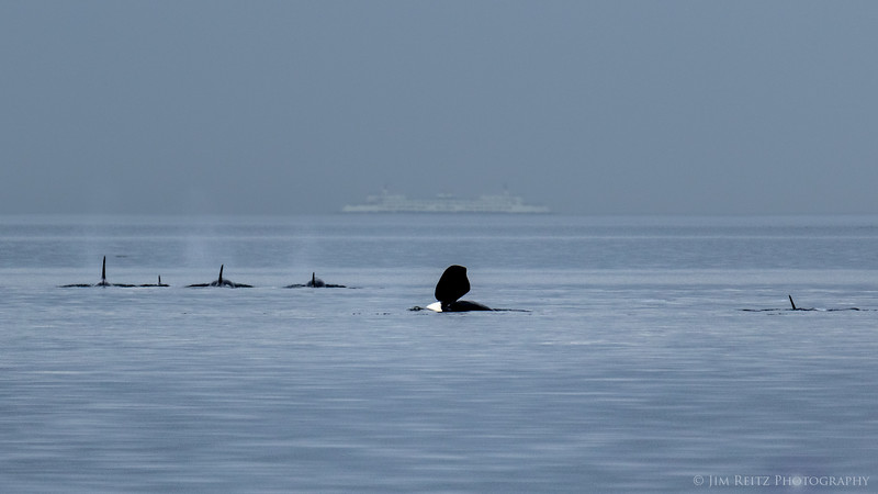 Orcas viewed from Point Robinson Lighthouse on Maury Island