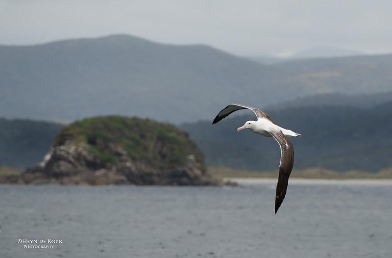 Southern Royal Albatross, Stewart Island Pelagic, SI, NZ, Jan 2013-3.jpg